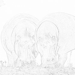 Hippos near a river - Coloring page
