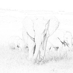 Elephants in savanna - Coloring page
