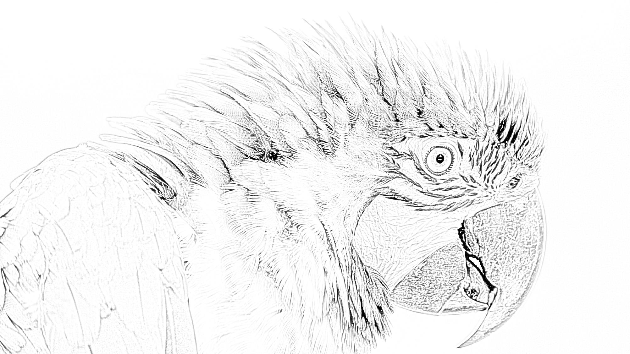 Blu and Yellow Macaw Coloring Page