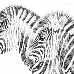 Zebras in savanna - Coloring page