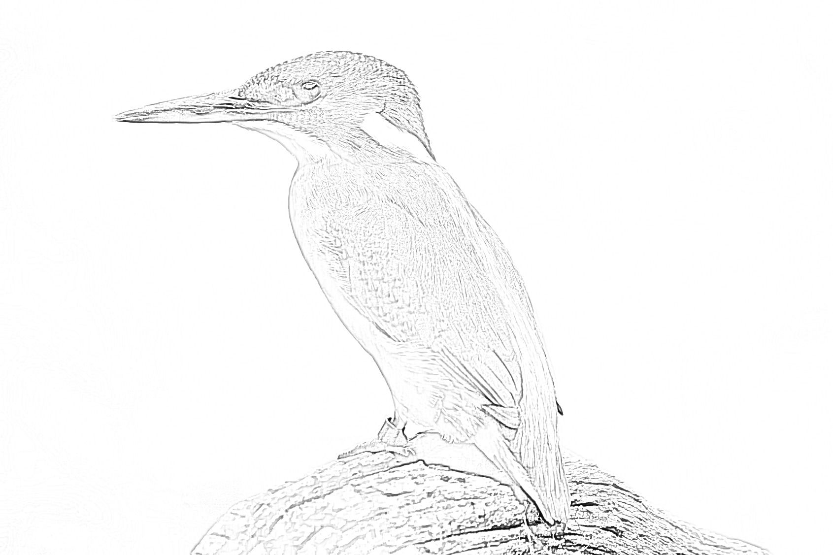 Kingfisher bird - Coloring page