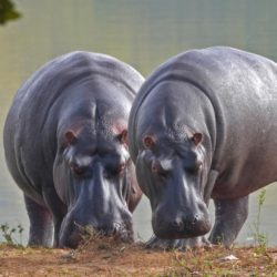 Hippos near a river - Origin image