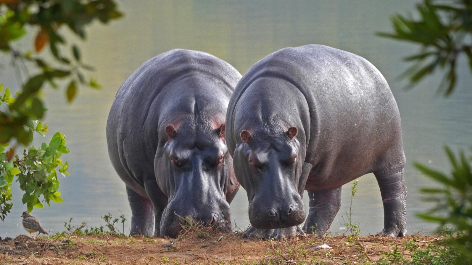 Hippos Near Water - Original image