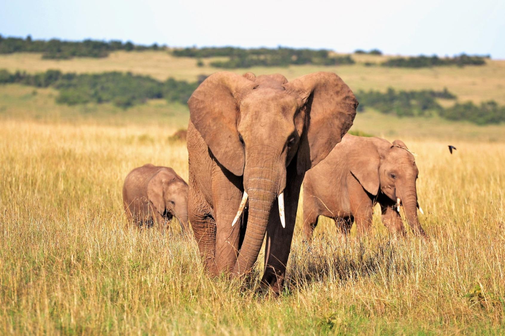 Elephants in Savanna - Original image