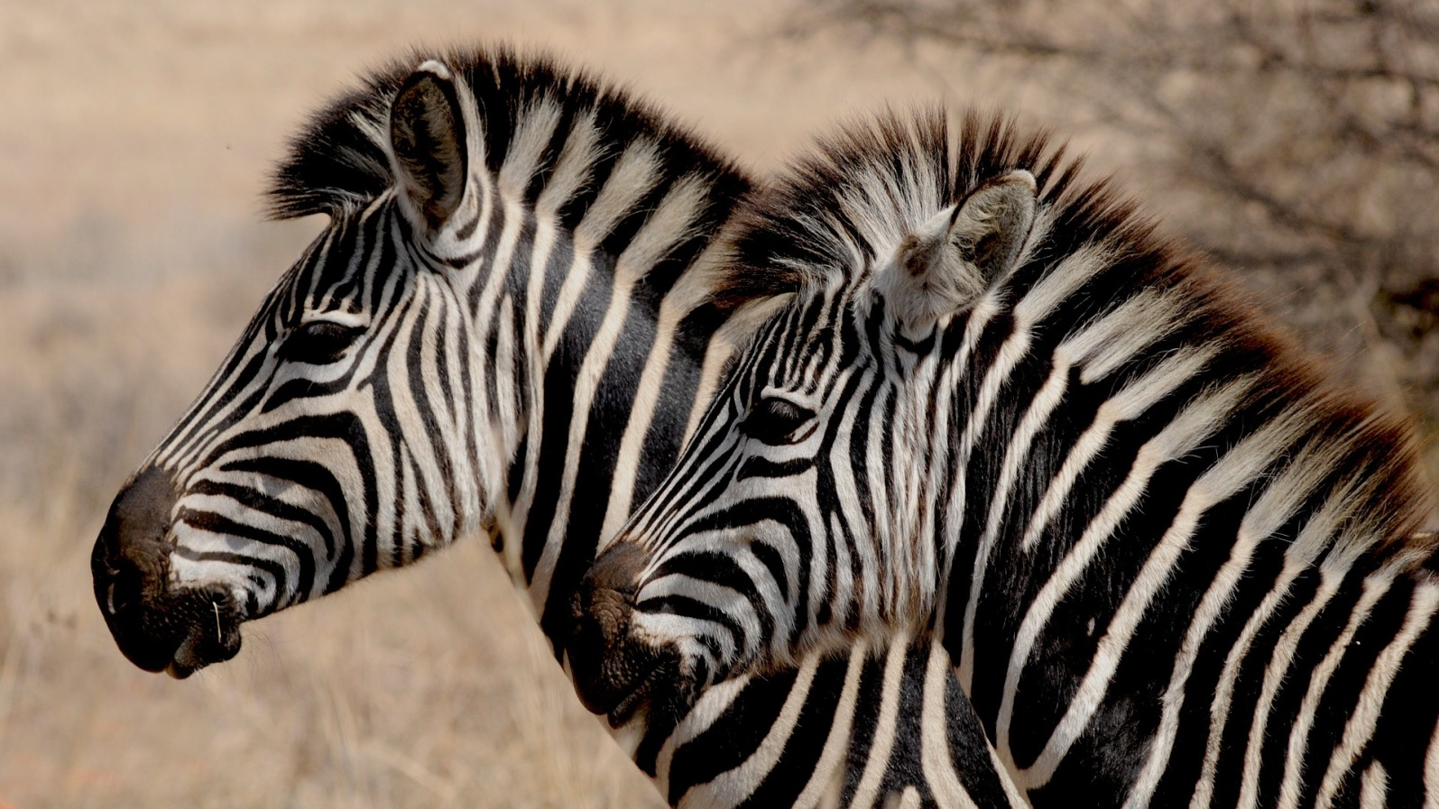 Zebras in Savanna - Original image