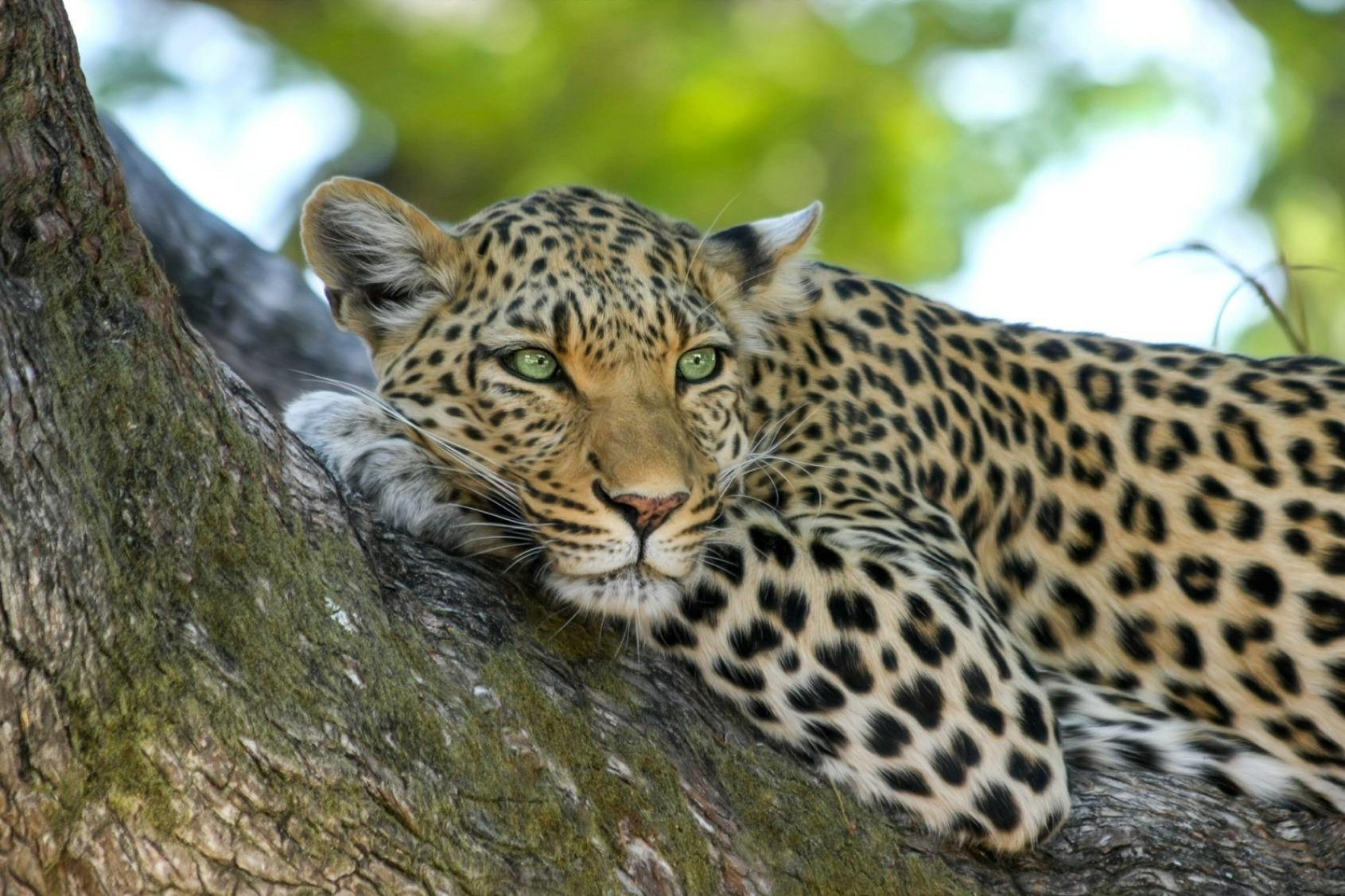 Leopard - Original image