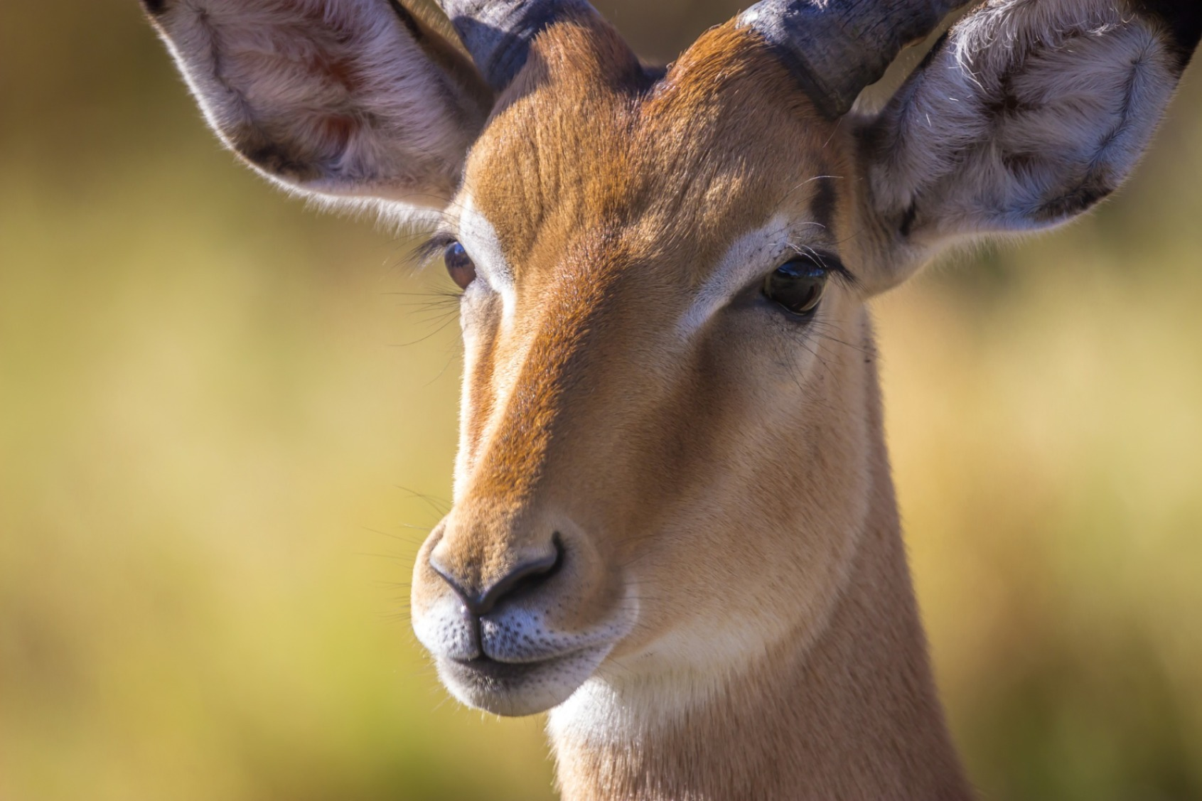 Impala - Original image