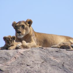 Lions on the rock - Origin image