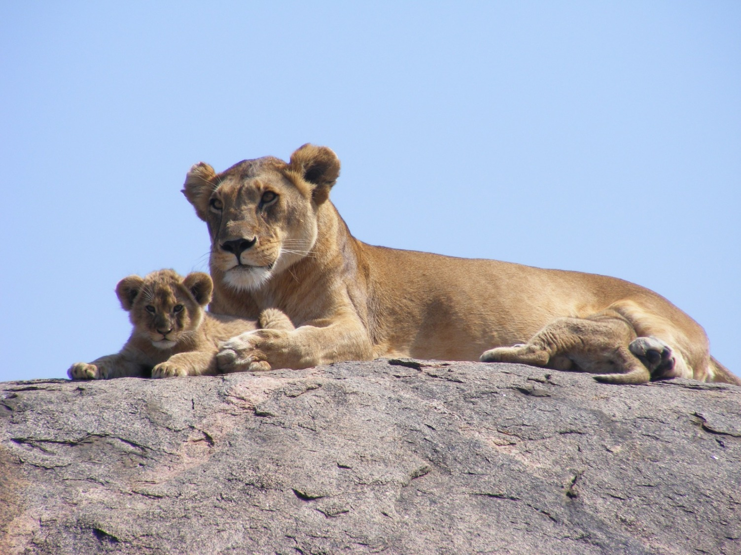Lions Lying on the Rock - Original image