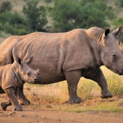 White rhinoceros - Origin image