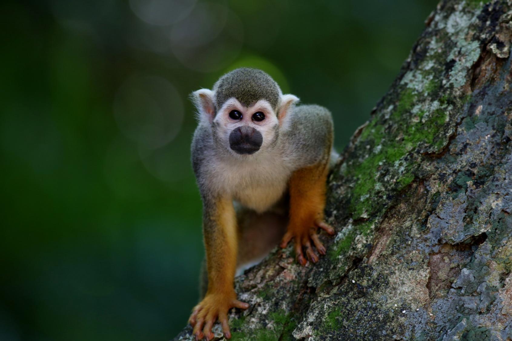 Little Monkey - Original image