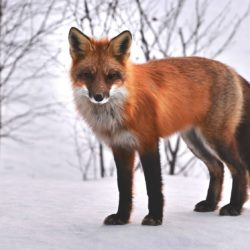 Fox - Origin image