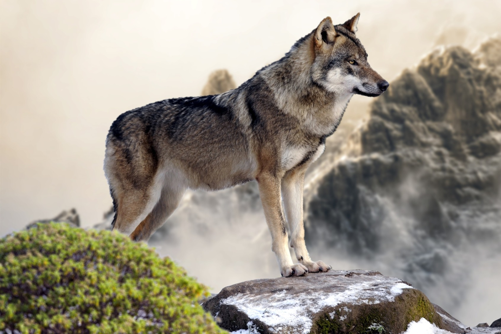 Wolf standing on a rock - Original image