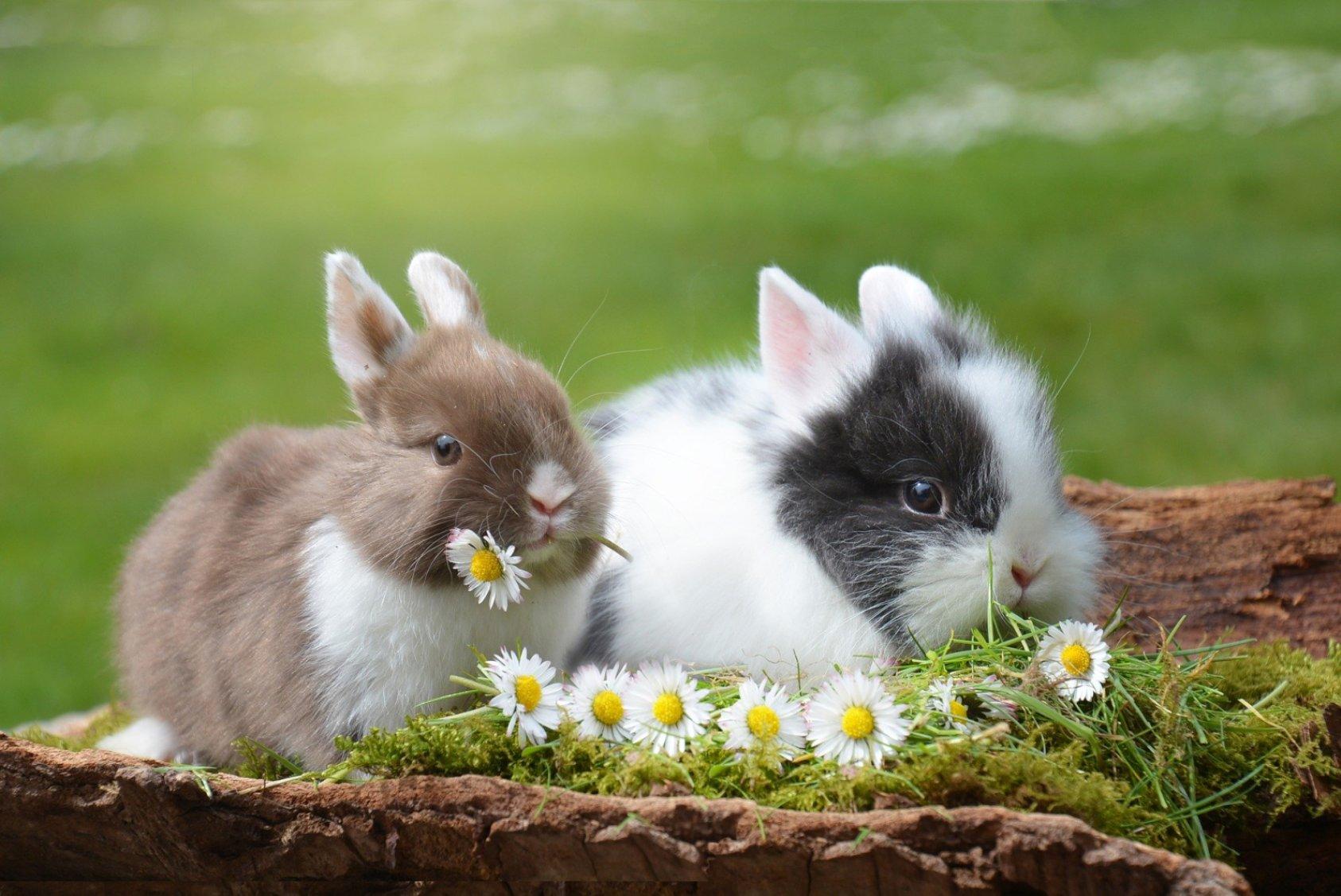 Two Little Bunnies - Original image