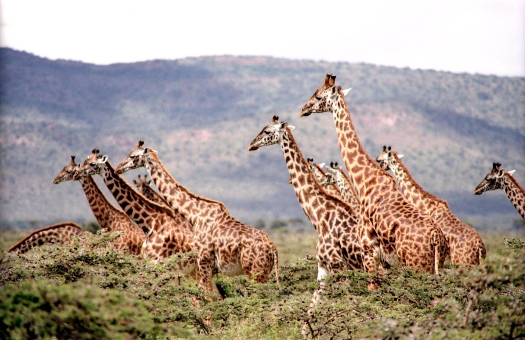Giraffes Family - Original image