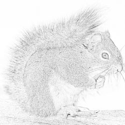 Squirrel in wood - Coloring page