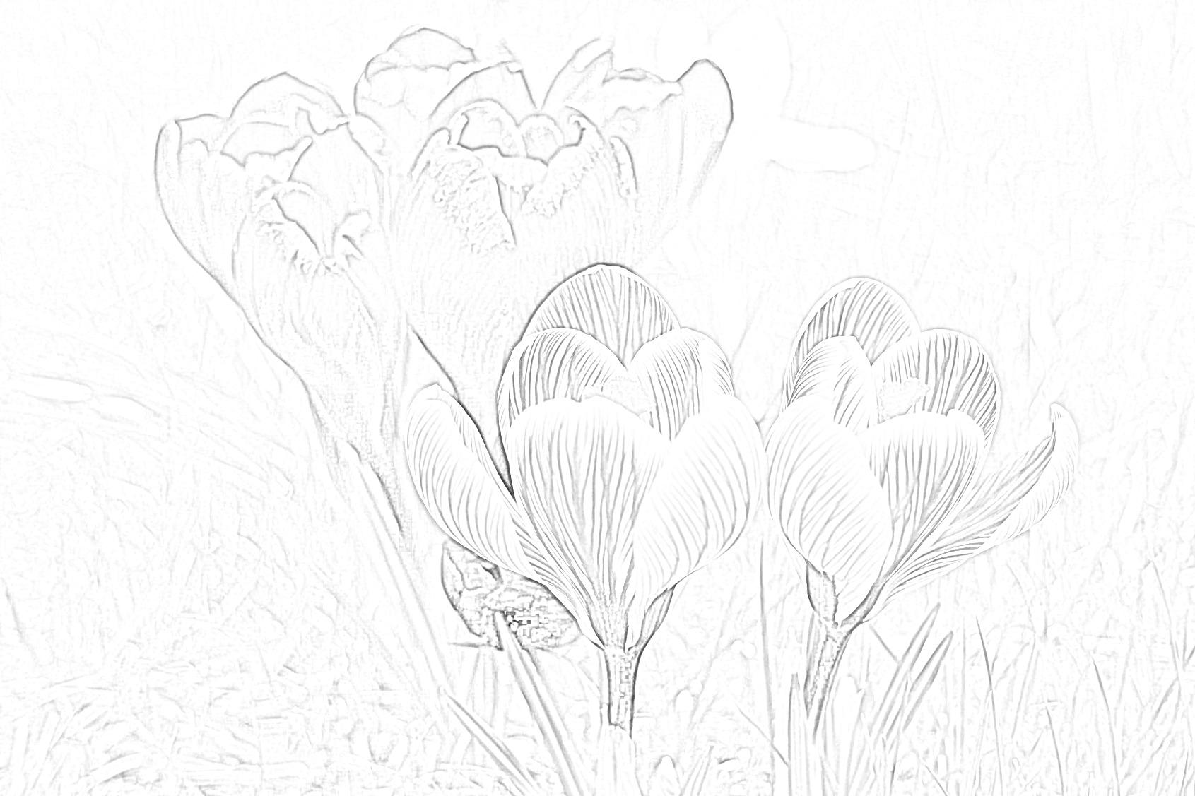 Crocus Flowers Coloring Page