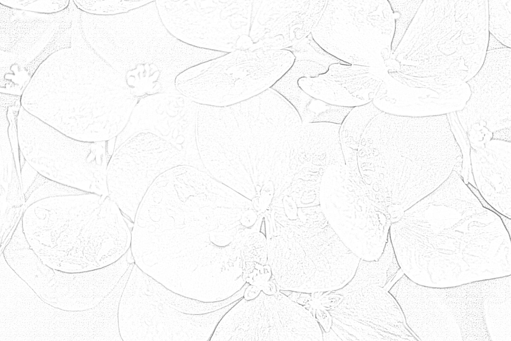 Hydrangeas coloring page