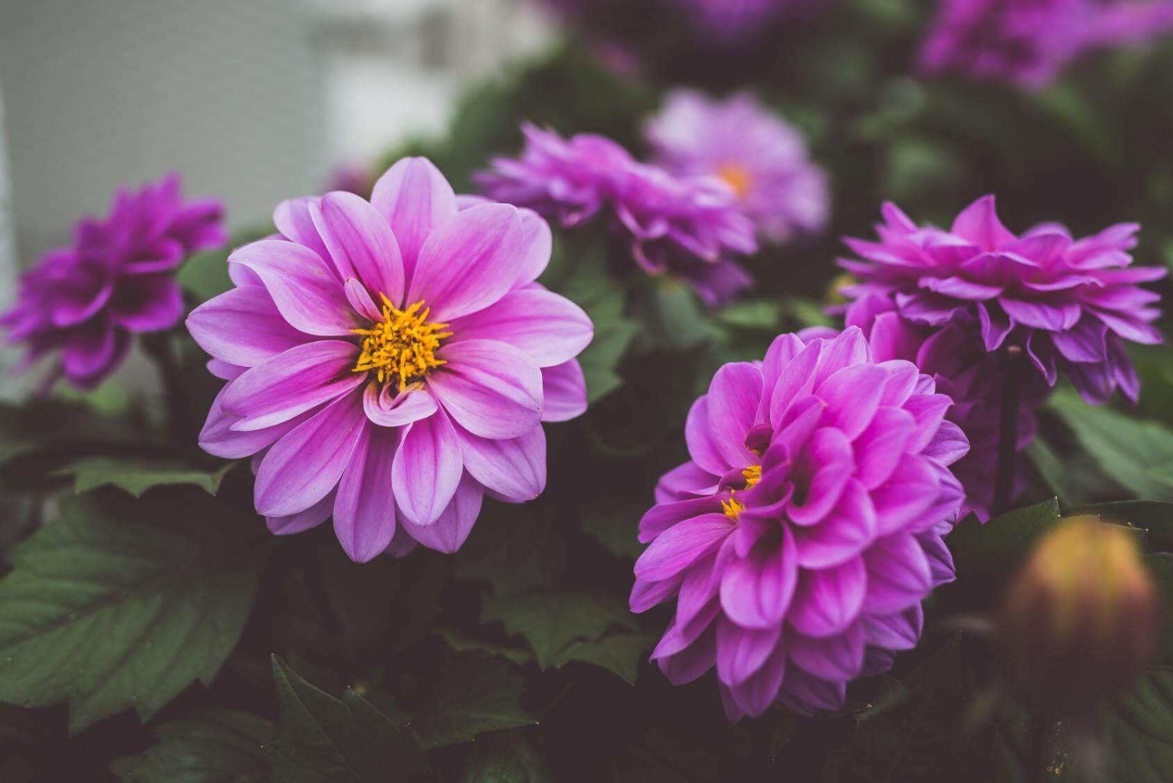 Purple Dahlia Flowers - Original image
