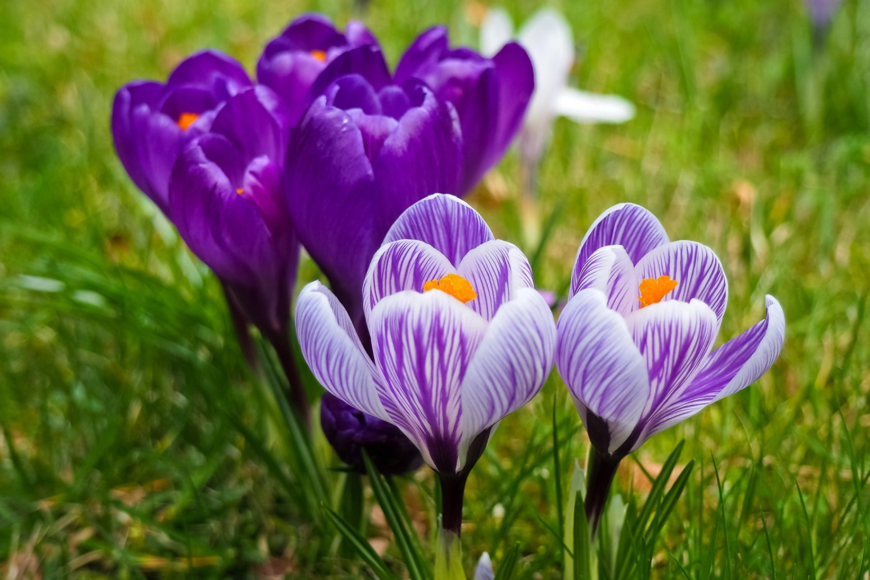 Crocus Flowers - Original image