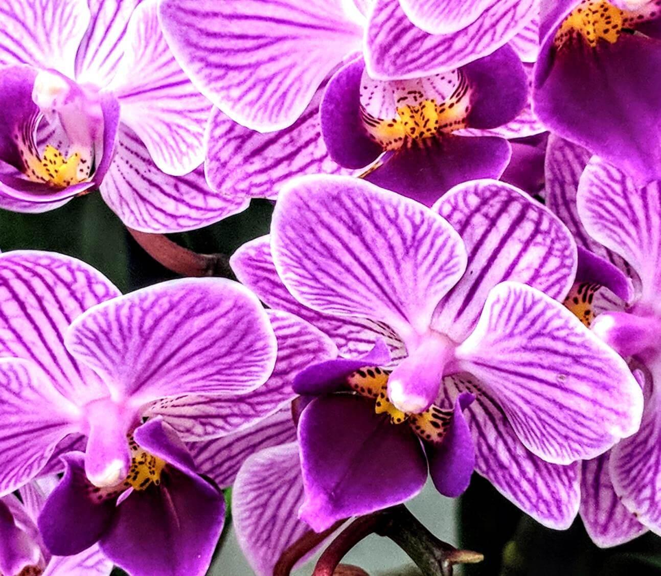 Purple Orchids - Original image