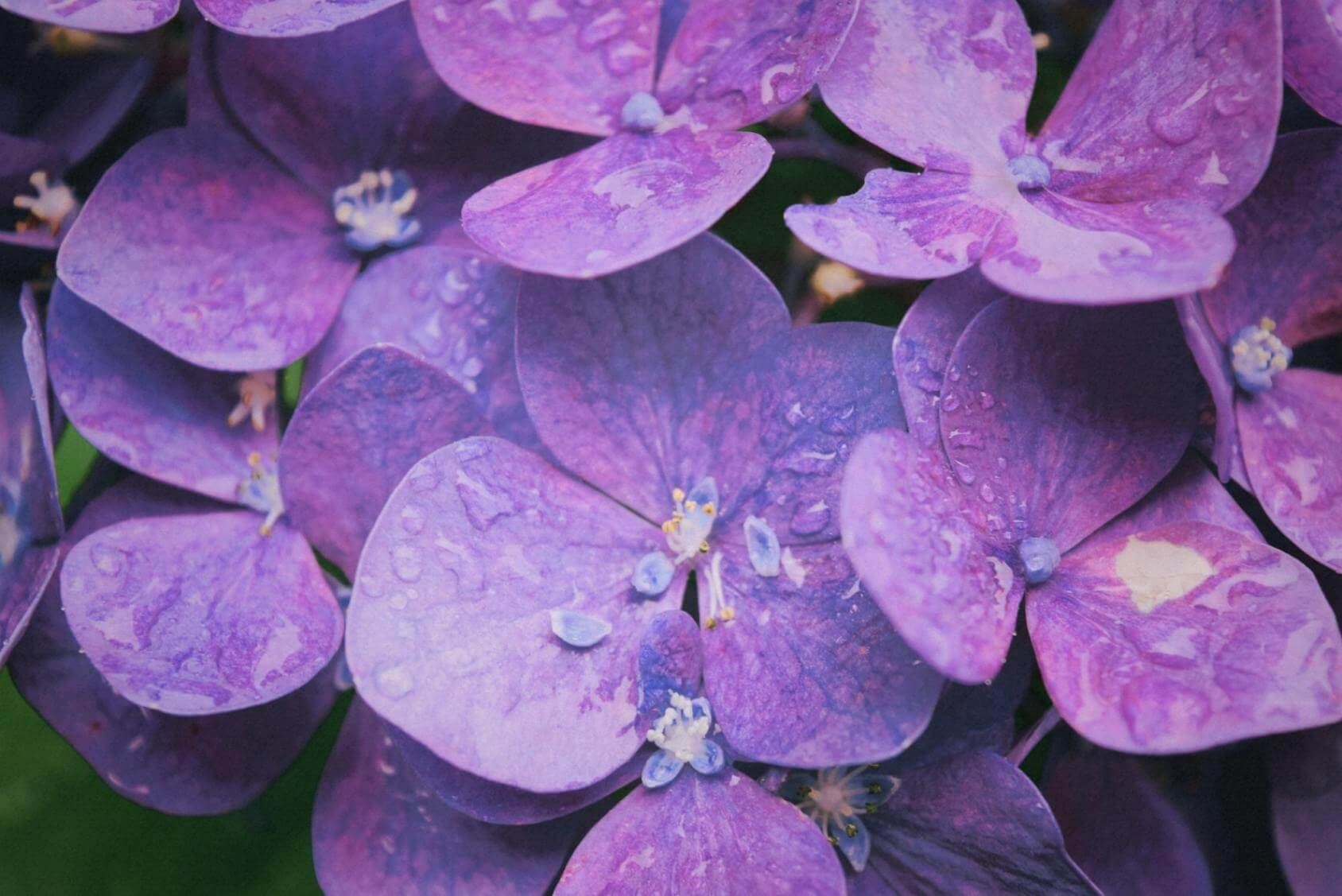 Hydrangeas Flowers - Original image