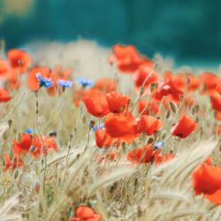 Poppy flowers - Origin image