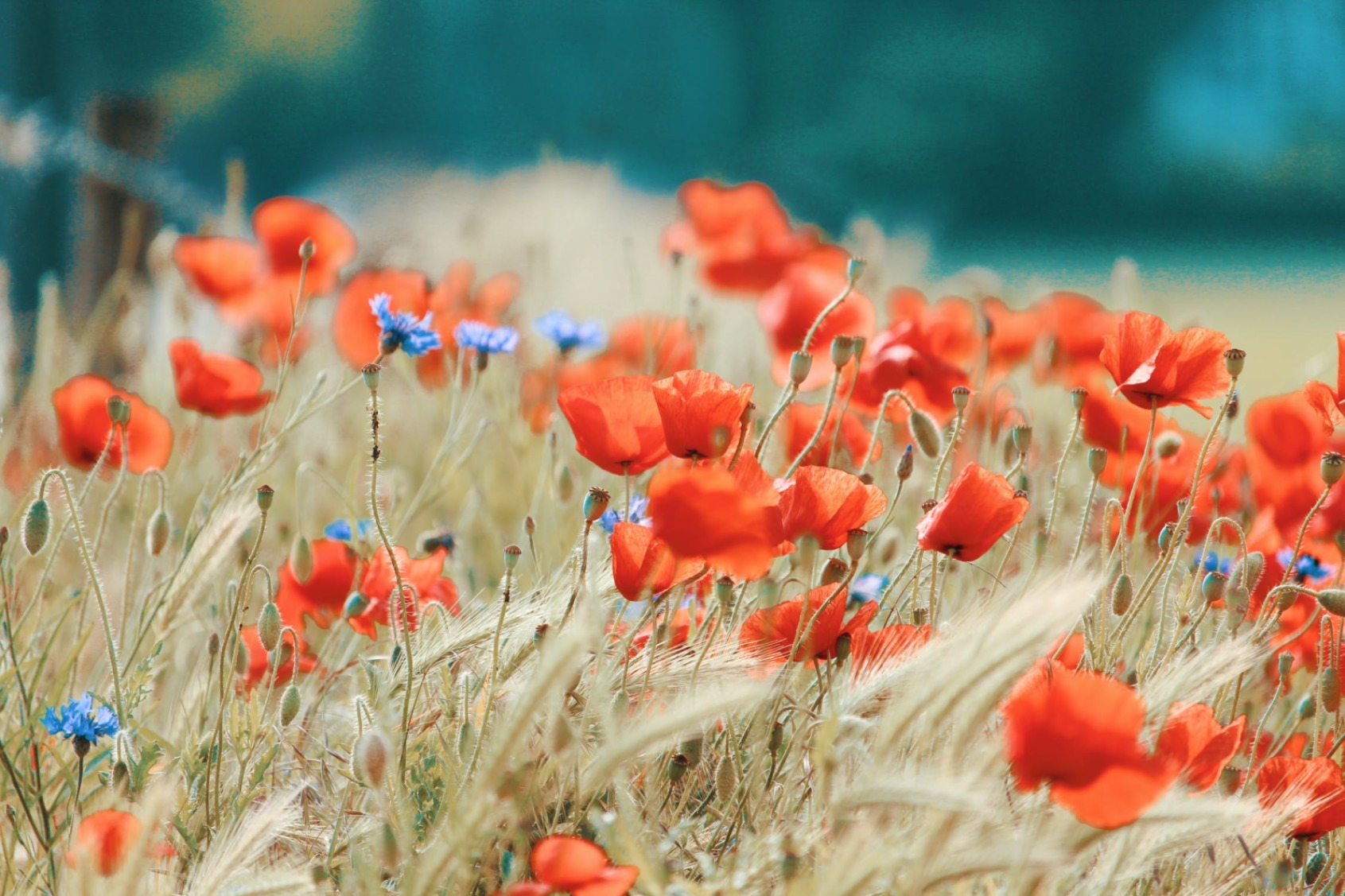 Poppy Flowers On The Wheat Field - Original image
