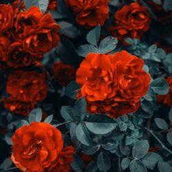 Roses - Origin image