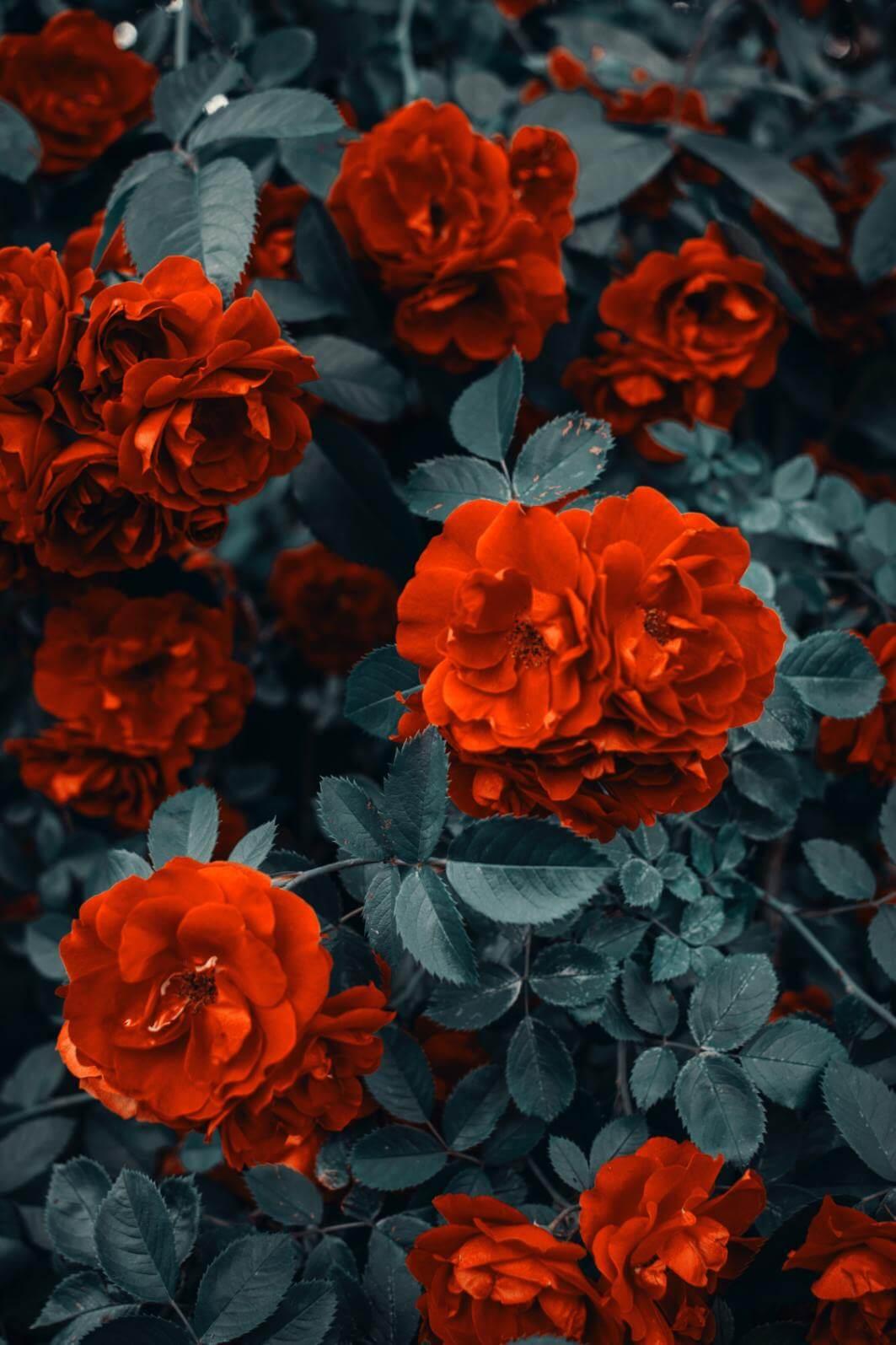 Red Roses - Original image