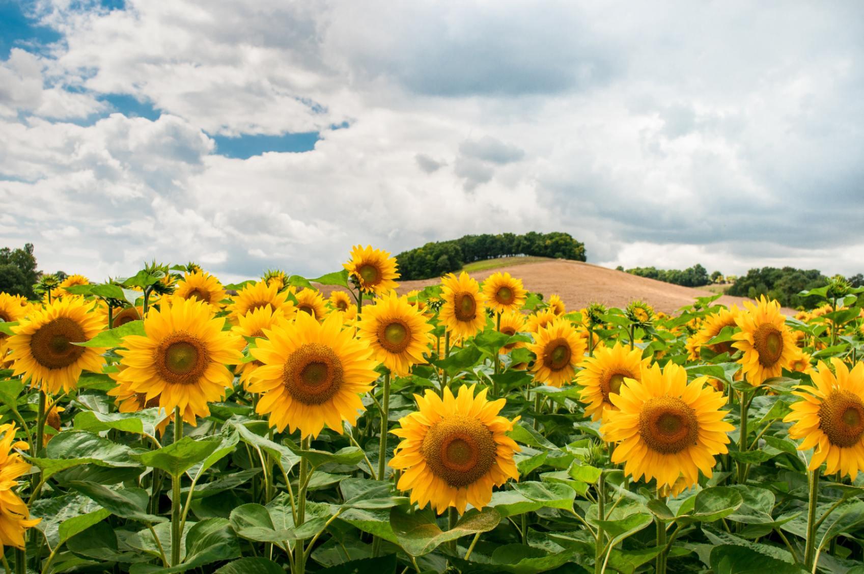 Field of Sunflowers - Original image