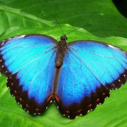 Butterfly Blue Morphofalter - Origin image