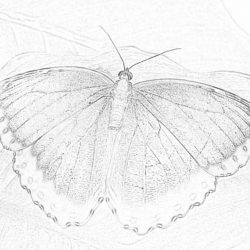 Butterfly Blue Morphofalter - Coloring page