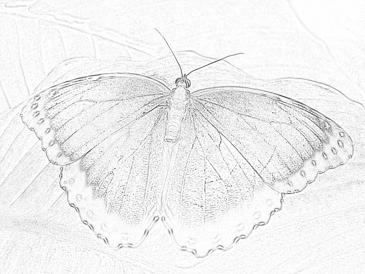 Blue Morphofalter coloring page