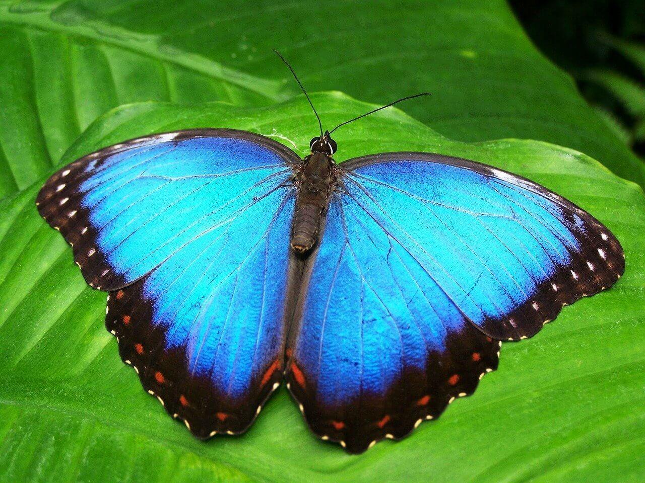 Blue Morphofalter - Original image