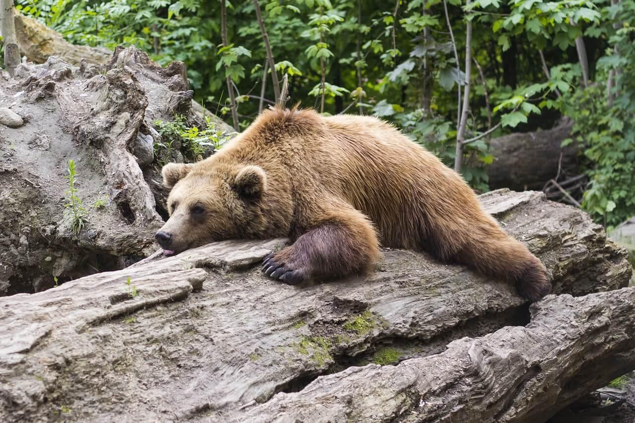 Bear - Original image
