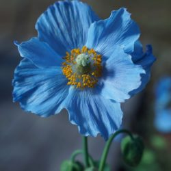 Blue Poppy - Origin image