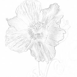 Blue Poppy - Coloring page