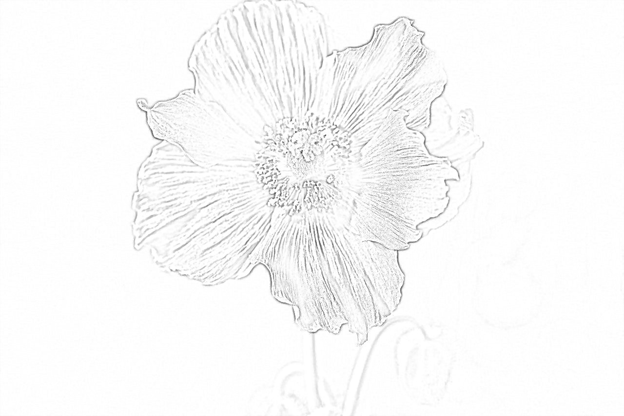 Blue Poppy Coloring Page