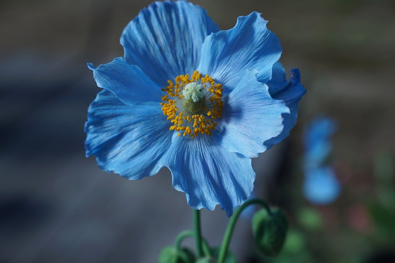 Blue Poppy - Original image