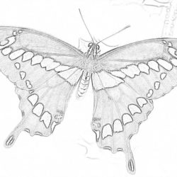 Monarch Butterfly - Coloring page