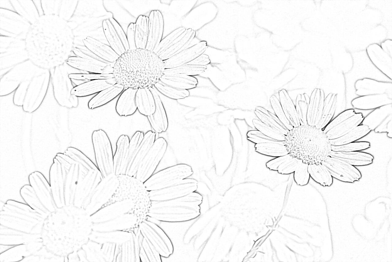 Chamomile Coloring Page