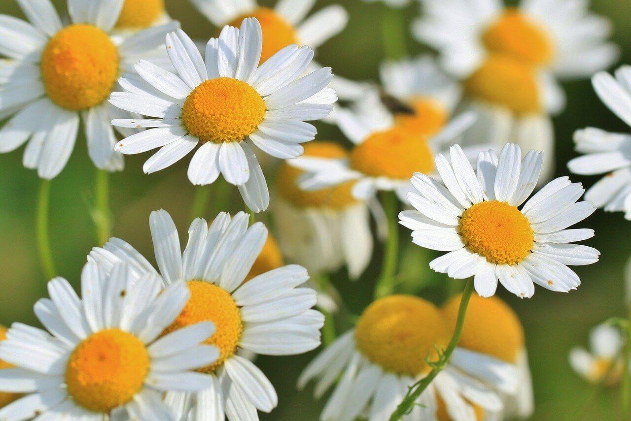 Chamomile Flowers - Original image