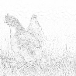 Chicken - Coloring page
