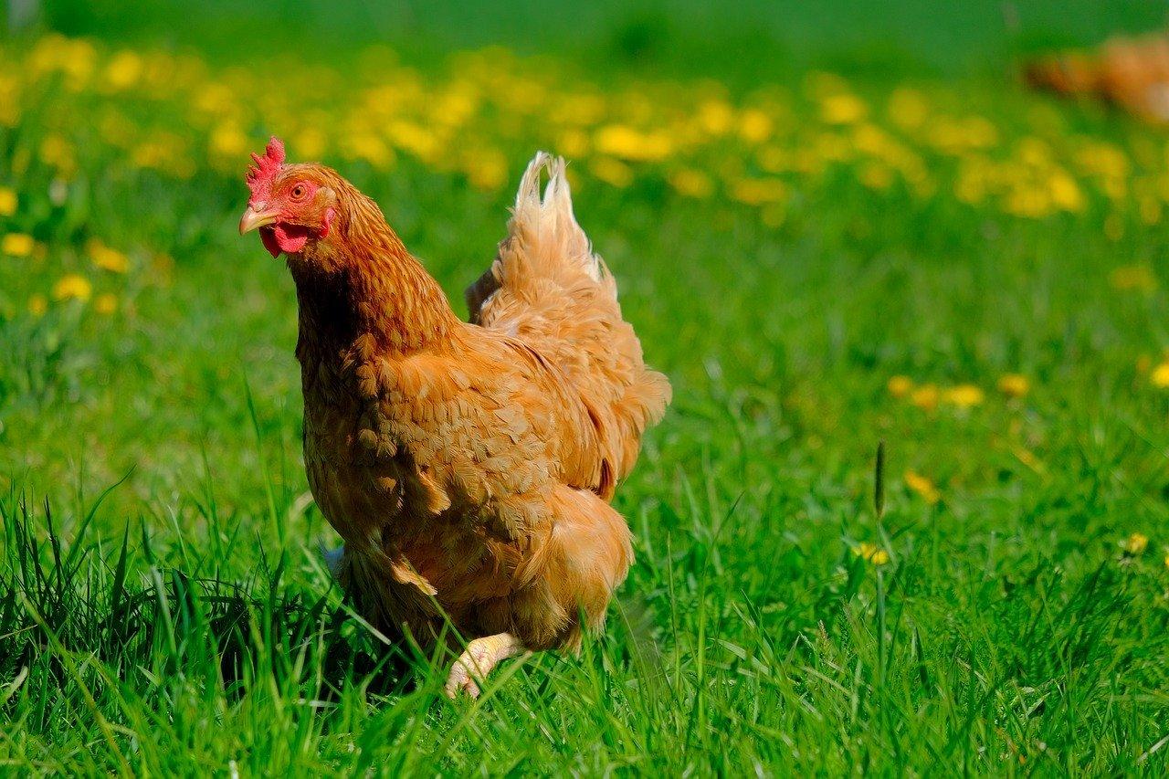Chicken - Original image