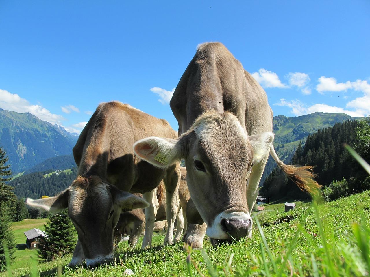 Cow - Original image