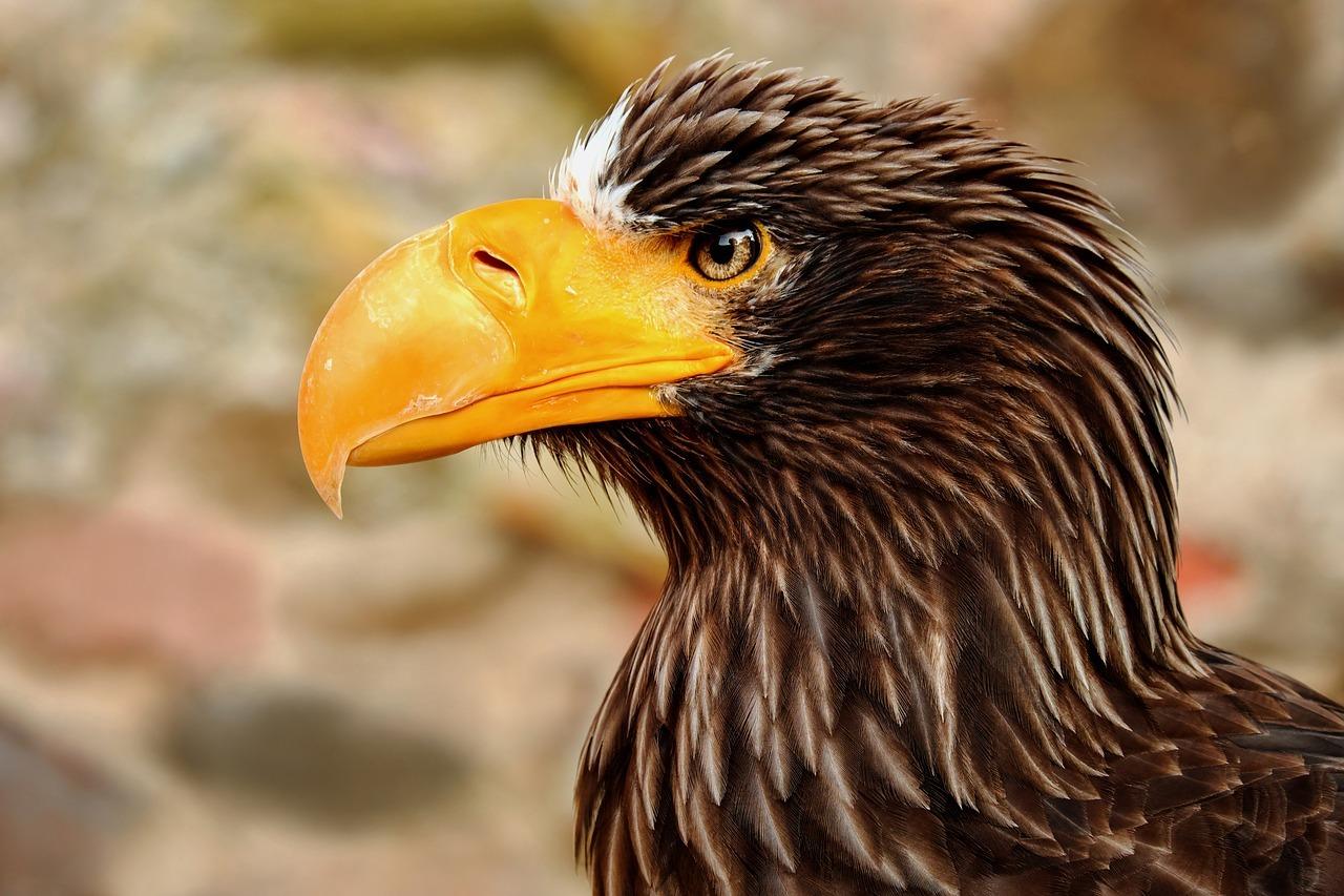 Giant Eagle - Original image
