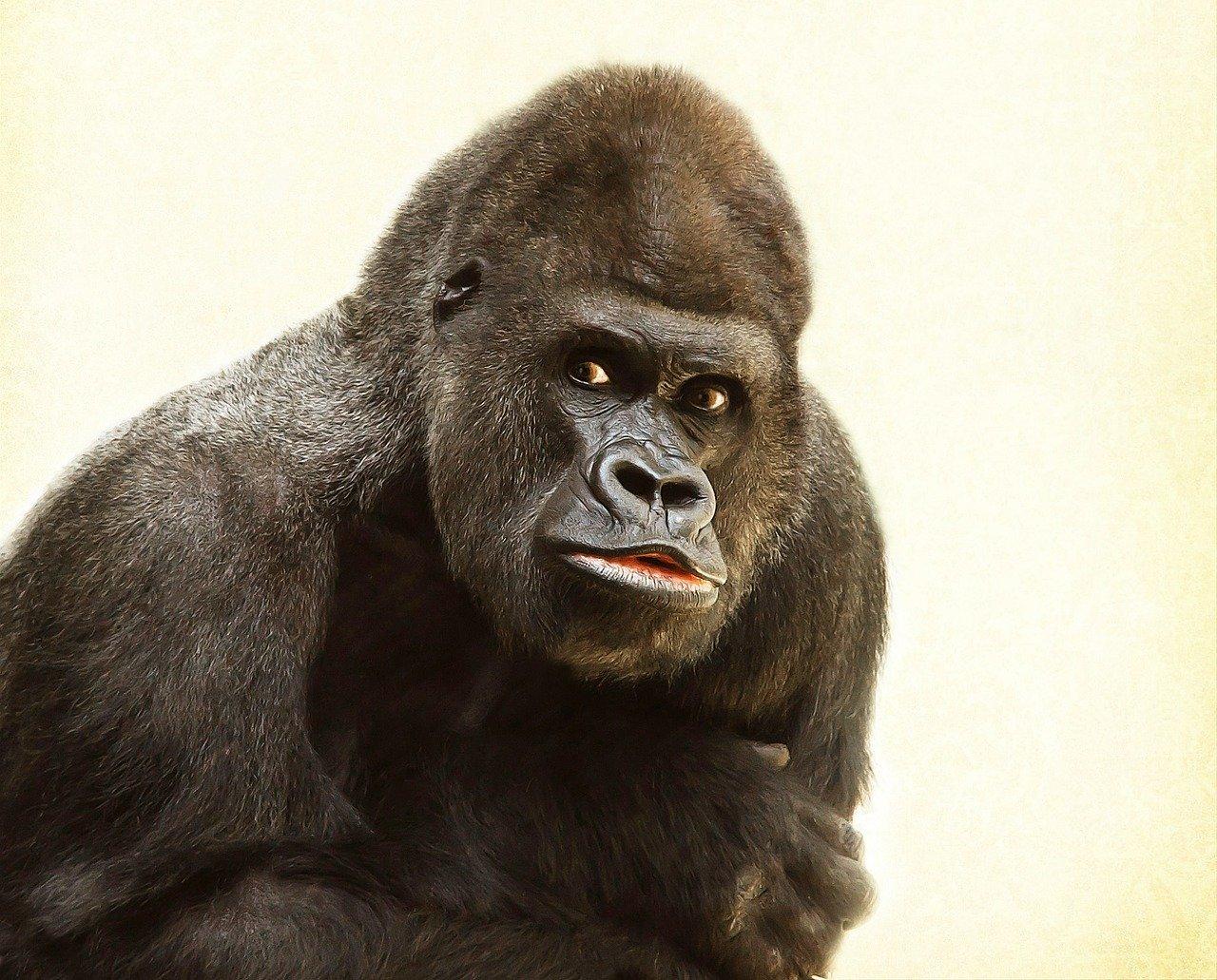 Gorilla - Original image