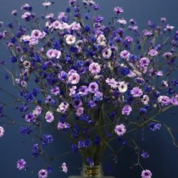 Gypsophila flowers - Origin image