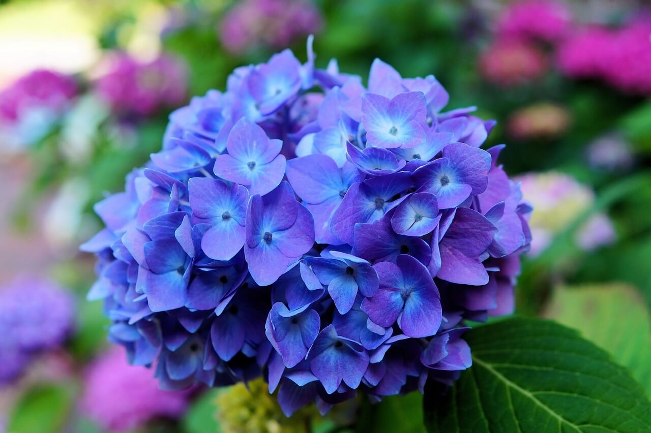 Hydrangea Flower - Original image